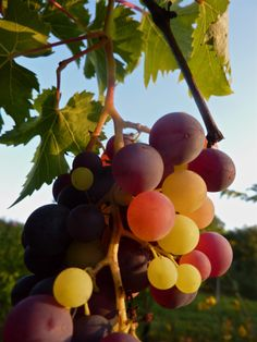 August sweetness  #summer #vineyard #grapes