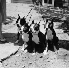 circa 1955: Four dogs on a lead. (Photo by Three Lions/Getty Images)