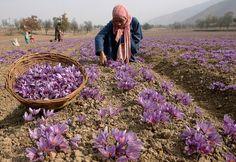 Saffron is the dried stigmas of the Saffron Crocus. It takes about 80,000 flowers to yield 5 pounds of Saffron.