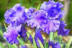 Irises Photograph - Purple Bearded Irises by Cindi Ressler
