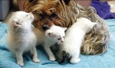 Yorkie Mom Saves Litter Of Kittens