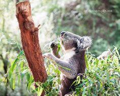 8 x 10 Print - Koala - I'm Hungry / Melbourne Australia / Fine Art Photography / Wall Art / Home Decor. $30.00, via Etsy.