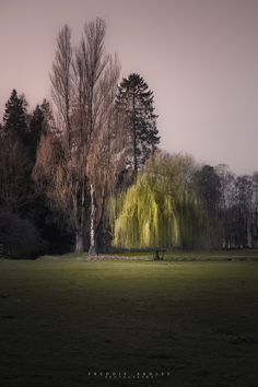 freddie-photography:  Willow Tree at the Start of Spring, Gloucestershire UK  By Freddie Ardley PhotographyWebsite | Facebook | Instagram | Twitter