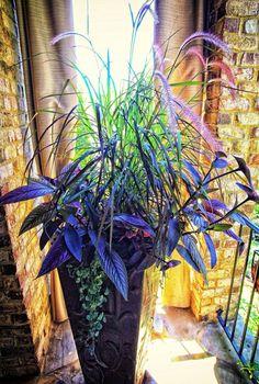 """Foliage container - Purple Fountain Grass, Persian Shield, Purple Heart, Dichondra """"Silver Falls"""". Container garden."""