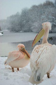 Snow Pelicans