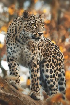 Gorgeous Amur leopard, native to southeastern Russia and northern China. The have a longer coat of fur. Beautiful Cats, Animals Beautiful, Big Cats, Cats And Kittens, Siamese Cats, Jaguar, Animals And Pets, Cute Animals, Wild Animals