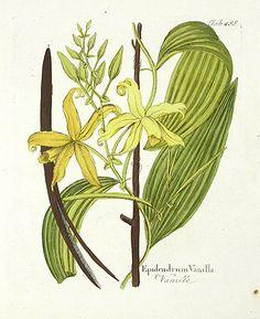 バニラ, vanilla orchid botanical, Vanilla planifolia (Vanilla)