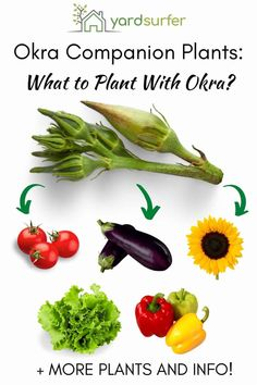 Many veggies in your edible garden make brilliant okra companion plants, helping you grow a bigger and better crop. Here are some of them! Growing Okra, Growing Tomatoes, Vegetable Gardening, Organic Gardening, Gardening Tips, Easy Garden, Edible Garden, Okra Plant