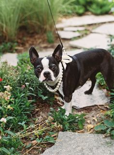 155 Best Boston Terriers images in 2019 | Dog photography, Boston