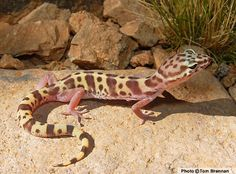 gecko lizard | Western Banded Gecko (Coleonyx variegatus) - Reptiles of Arizona