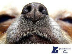 La nariz de los perros. CLÍNICA VETERINARIA DEL BOSQUE. La nariz de los perros no solo es un gran instrumento del olfato, también es única. Los humanos tenemos huellas dactilares irrepetibles, para los perros es la nariz, ya que las líneas y las formas de los orificios nasales que tiene tu mascota no se repiten en ninguna otra y además es indicador de algunos padecimientos. En Clínica Veterinaria del Bosque nos preocupamos por tu perro. www.veterinariadelbosque.com #veterinariadelbosque
