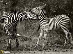 赞比亚斑马