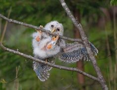 hang on little buddy! Owl Photos, Owl Pictures, Funny Animal Pictures, Little Birds, Love Birds, Animals And Pets, Cute Animals, Beautiful Owl, Tier Fotos