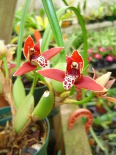 Maxillaria tenuifolia, the Coconut Orchid. Easy to grow Summer bloomer, smells like coconuts! http://www.amazon.com/dp/B009SAZ61Q/ref=cm_sw_r_pi_dp_H9lntb1J69WXAWPN