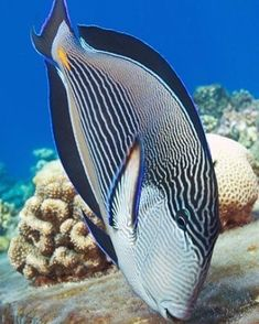 Such a beautiful fish with the corals Underwater Creatures, Underwater Life, Ocean Creatures, Colorful Fish, Tropical Fish, Poisson Mandarin, Life Under The Sea, Beautiful Sea Creatures, Salt Water Fish