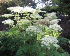 Selinum wallichianum - Buy Unusual Garden Plants Direct from PlantsToPlant