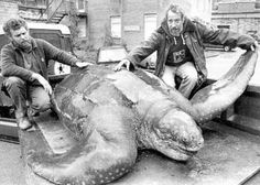 World's largest turtle found dead on a beach in Wales in 1988.  Weighed over 2,000 pounds and was at least 100 years old. The turtle skeleton is now in the National Museum of Wales.