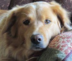 Golden Retriever   www.mizbooksmedia.com