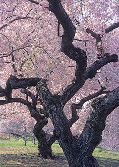 ✯ Double Cherry Blossom Trees