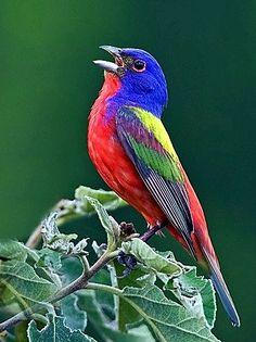 """A estamenha pintada (Passerin ciris) macho, é apelidada """"Incomparável"""", que em francês significa """"sem igual"""", e eu acho um apelido altamente apropriado para um esse pássaro espetacular."""