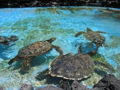 Sea turtles - a favorite topic when learning about ocean animals! Ocean Unit Study http://www.unitstudy.com/Oceans_Study.html