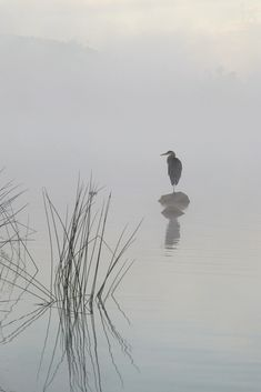 Heron in the morning mist (by Eric Zhang)