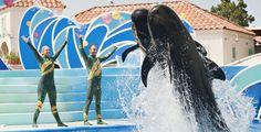 560px_Blue-Horizons-pilot-whales-Mike AguileraSeaWorldSan Diego