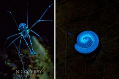 Harvestman illuminated with 365nm wavelength ultraviolet light; Millipede fluorescence.