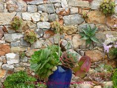 Suculentas em muro de pedra, jardim do Ludgero, Algarve, Portugal.