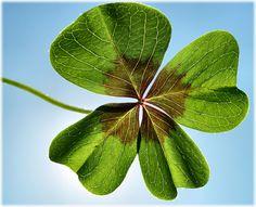 cloverful leaf