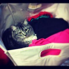 #molly #cute #kitten #laundrybasket