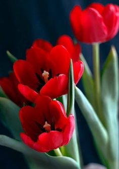 Red tulips #flowers