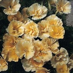Eschscholzia californica 'Buttermilk'