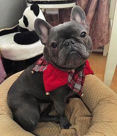 Lola, French Bulldog in her Christmas Collar❤️
