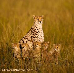Which side of a cheetah has the most spots? (The OUTSIDE) Momma is SO PROUD to be seen with her babies!