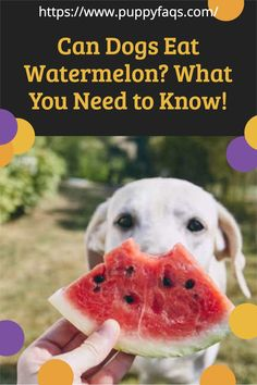 Can dogs eat watermelon? Find out if it's safe to give your dog a bite of this delicious fruit. You'll also find other great tips on how you can use all that leftover watermelon in the fridge too. Visit here to check out can dogs eat watermelon on PuppyFAQS Blog! If you are looking to find out if it's safe to give your puppy watermelon for a snack, then this is the blog post for you! For the definitive guide on Can Dogs Eat Watermelons, click to be directed to the PuppyFAQS blog. Can Dogs Eat Watermelon, Eating Watermelon, Frozen Watermelon, Watermelon Rind, Fruits For Dogs, Watermelon Health Benefits, Dog Diet, Delicious Fruit