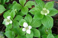 Bunchberry: (Cornus canadensis) Also called crackerberry, these attractive wild perennials produce orange-red berries, bland unless cooked.  Anne of Green Gables, p 293