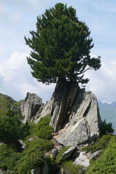 Image result for limba wysokogórska