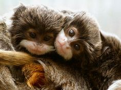 Double Trouble (2) - Twin Emperor Tamarins looking very cheeky
