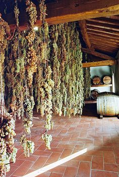 Malvasia and Trebbiano grapes undergoing the drying process to produce Vin Santo