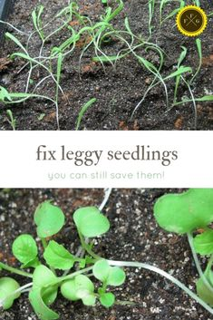 How to prevent and fix leggy seedlings