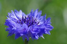 Centaurea cyanus/ruiskaunokki
