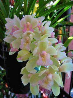 Shade Garden Flowers And Decor Ideas Orchids By Art: Cymbidium Sarah Jean 'Koihime' Unusual Flowers, Amazing Flowers, Beautiful Flowers, Flowers Nature, Tropical Flowers, Orchid Flowers, Orchid Bouquet, Magic Garden, Calla