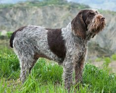 The History and Revival of the Spinone - Project Upland Magazine Top Dog Breeds, Large Dog Breeds, Big Dogs, Large Dogs, Child Friendly Dogs, Italian Spinone, Boxer Dogs, Doggies, Animaux