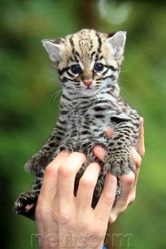 Cute Ocelot Kittens | Cute Animal Pics: Ocelots | Newscom FocalPoint