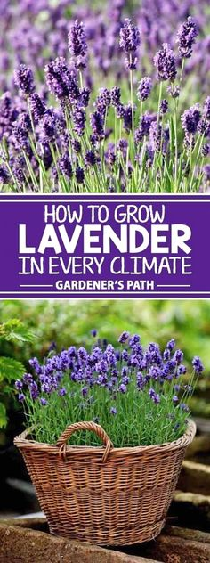 If you�re looking for a beautiful addition to your garden that requires very little maintenance while offering a bountiful harvest year after year, then lavender is the plant for you! Learn what variety fits with your region and the best tips to grow it o #GardenIdeas