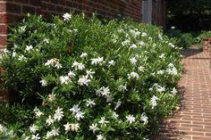 Gardenia frostproof -lovely fragrance and bloom
