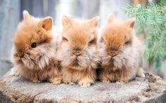 Orange lionhead rabbit babies
