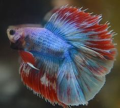 Multicolored Marbled Doubletail Splash