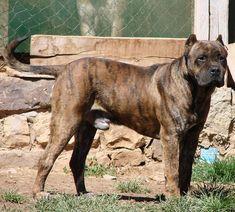 El perro villano de las encartaciones, también conocid como villan de carranza, o enkarterri villano txakurra,es un hermoso animal originario del norte de España. De tamaño mediano, color atigrado oscuro, aspecto imponente, y mirada profunda y penetrante, en realidad no es agresivo, sino Rare Dogs, Rare Dog Breeds, Spanish Dog Breeds, Spanish Water Dog, Presa Canario, Puppy Mills, Cane Corso, Doberman, Schnauzer